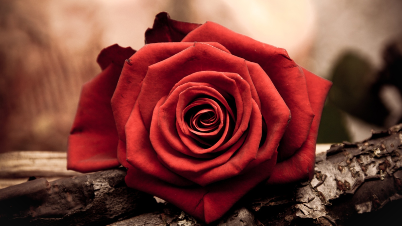 881935-rose-wallpaper